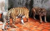 Đại gia Việt nuôi thú dữ làm oai