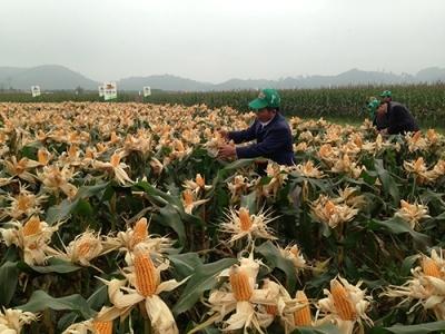 Ngô biến đổi gen: Thế giới lo sợ, Việt Nam nhập về