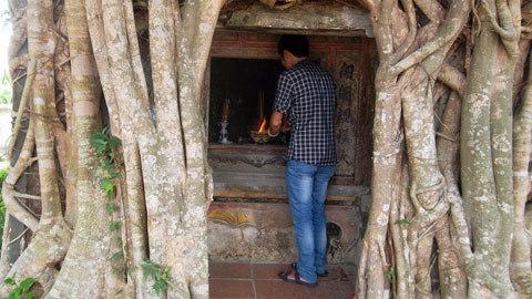 cây sanh, Lệ Thủy, trăm tuổi