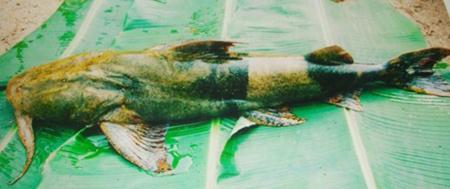 Thủy quái sông Gâm lên bàn nhậu Hà Thành