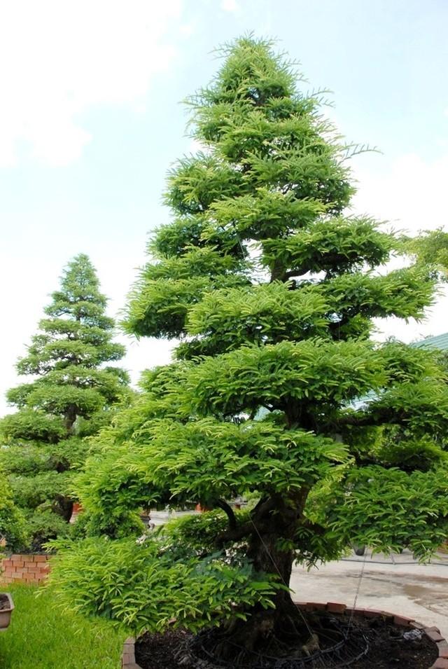 Hai cây me 150 tuổi giá 4,2 tỷ đồng ở Sa Đéc