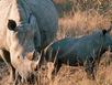 Tê giác con dũng cảm lao vào địch thủ cứu mẹ