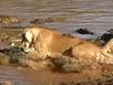Xem sư tử lao xuống đầm vả cá sấu tới tấp