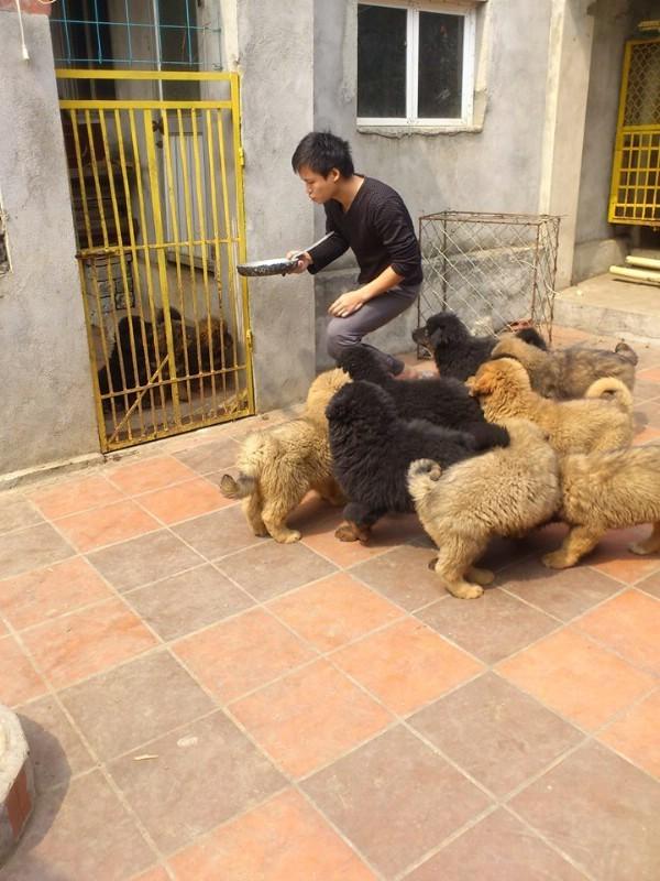 Trại chó Ngao bạc tỷ của thiếu gia Quảng Ninh