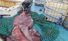 Bắt 'quái mực' khổng lồ nặng tới 350kg