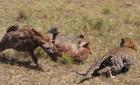 Linh cẩu bỏ mồi chạy bạt mạng trước báo hoa