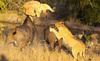 Xem sư tử bị trâu rừng húc văng lên không trung