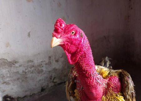 Bộ 3 gà chọi nhất Bắc Kỳ: Chiến kê 'danh gia vọng tộc'