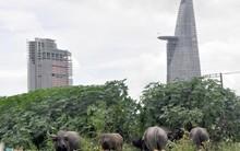 Trại dê bò giữa trung tâm tương lai Sai Gòn
