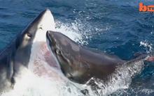 Xem cá mập trắng xé xác đồng loại