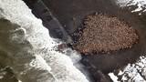 Hàng chục nghìn hải mã chạy nạn vì băng tan