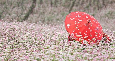 Lạc vào miền cổ tích trong mùa hoa tam giác mạch