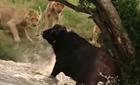 Xem voi giải cứu trâu rừng thoát bầy sư tử
