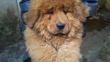 Chơi chó có giấy khai sinh: Trăm triệu mỗi con