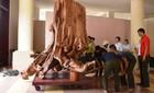 Đại gia hết cơ hội mua gốc sưa 17 tỷ ở Quảng Bình