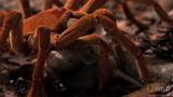 """Xem nhện """"khủng"""" ăn sống cả chuột"""