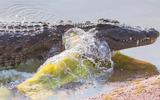 Cá sấu táo tợn lên bờ cướp mồi của chó hoang