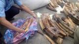 Gần 1 tấn ngà voi nguỵ trang găng tay cao su nhập lậu