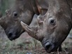 Bắt 6kg sừng tê giác trị giá 4 tỷ ở sân bay Nội Bài
