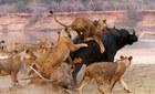 Bầy sư tử truy sát trâu rừng đến chết