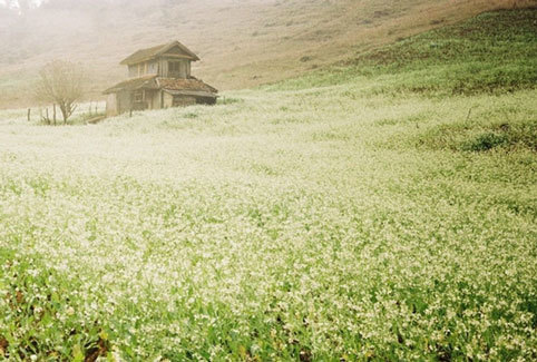 mùa hoa cải trắng, du lịch, Mộc Châu