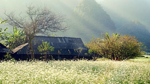 Mộc Châu đẹp tinh khôi mùa hoa cải trắng