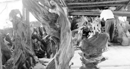 Đại gia rỉ tai nhau lùng mua tinh dầu ướp xác ngàn năm