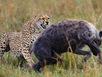 Báo mẹ đánh bạt 3 linh cẩu bảo vệ con