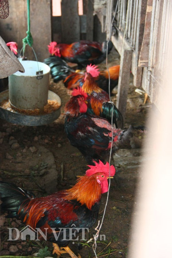 Độc nhất Hà Thành: 'Trang trại' cá, gà, lợn... trong nhà ống phố lớn