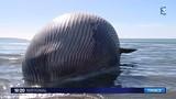 Xác cá voi 15 tấn sắp nổ trên bờ Địa Trung Hải