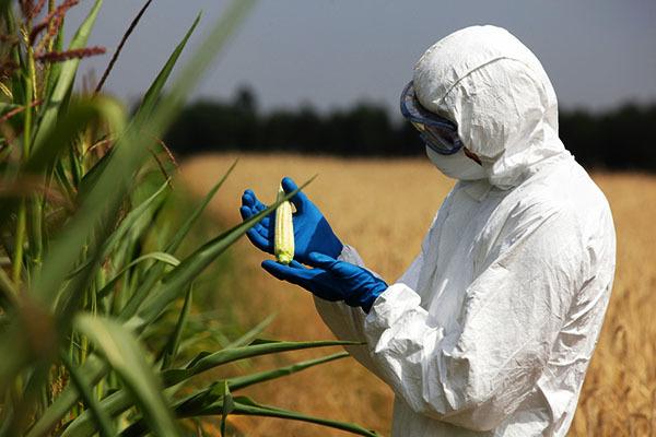 'Cuộc chiến' cây trồng biến đổi gen vẫn chưa kết thúc