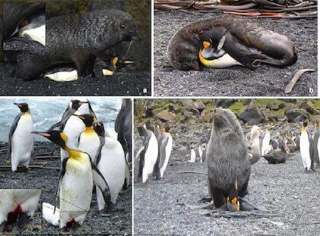 Bắt quả tang hải cẩu cưỡng bức chim cánh cụt