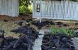 5.000 con dơi đột ngột chết 'nhuộm' đen mặt đất