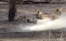 Sư tử xẻ thịt lợn rừng cứu đói bầy con