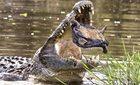 Xem rùa thoát chết gang tấc khỏi hàm cá sấu