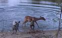 Chó hoang lôi tuột linh dương lên bờ xẻ thịt