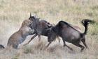 Báo gấm choáng váng vì bị linh dương đầu bò phản đòn