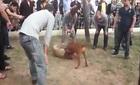 Chó chọi: Đổ tiền cho cuộc chơi đổ máu