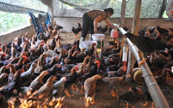 Thịt gà nhập khẩu 20 ngàn/kg: Đỡ không nổi