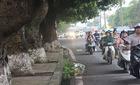Đốn hạ cây cổ thụ thi công ga Depot tuyến Nhổn – Ga Hà Nội