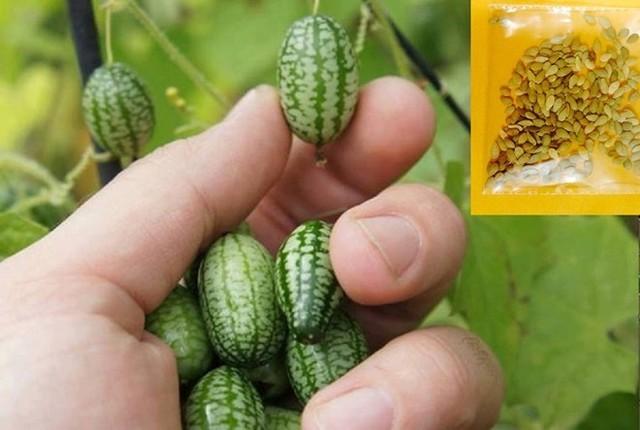 20.000 đồng/hạt giống dưa hấu tí hon