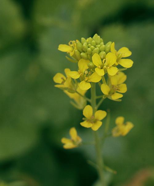 Rực vàng hoa cải đầu đông Hà Nội
