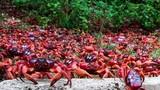 Cuộc di cư của hàng triệu cua đỏ trên đảo Giáng sinh