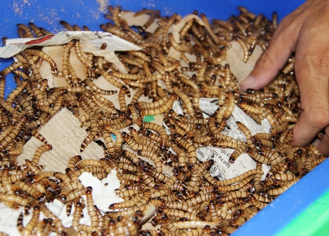 Khiếp: Ăn tươi sâu gạo nửa triệu đồng/kg