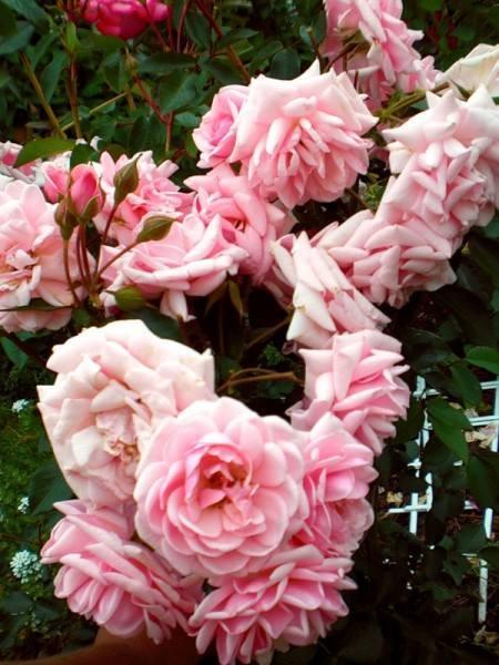 Sài-Gòn, sân-thượng, hoa-hồng, hồng-leo