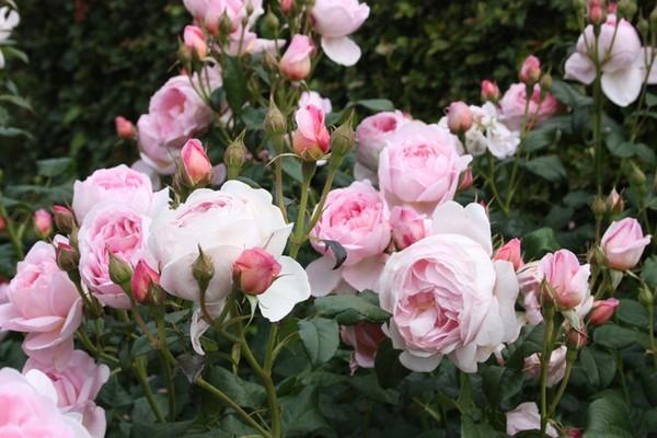 Vườn hồng trên sân thượng đẹp nhất Việt Nam!