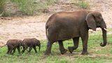 Cặp voi song sinh cực hiếm chào đời ở Nam Phi