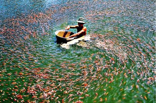 Đồng bằng sông Cửu Long, nuôi cá, Mekong, thủy điện, môi trường