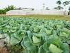 Thuê người trồng rau riêng: Chi đậm để được ăn sạch