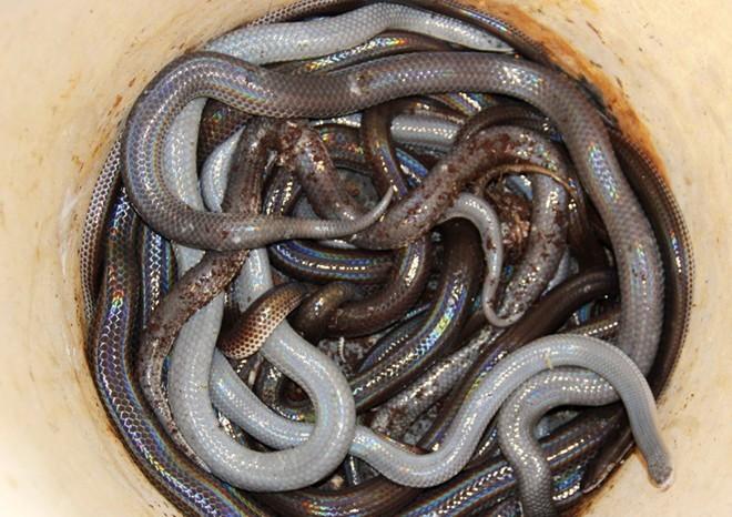 rắn, miền Tây, rắn-hổ-mang, rắn-mèo, đặc-sản, côn-trùng, món-nhậu, nuôi